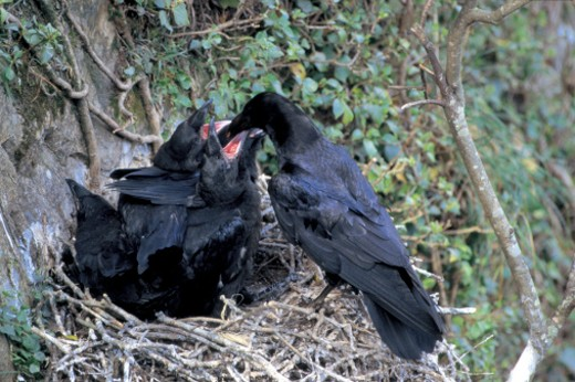 Stock Photo: 1491R-49110 high angle view of a crow feeding its young in a nest