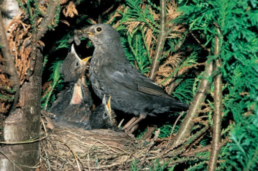 close-up of a bird feeding its young in a nest : Stock Photo