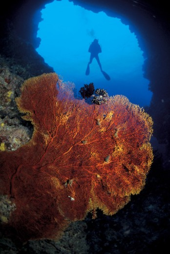 Stock Photo: 1491R-50001 close-up of marine life under the sea with a scuba diver behind