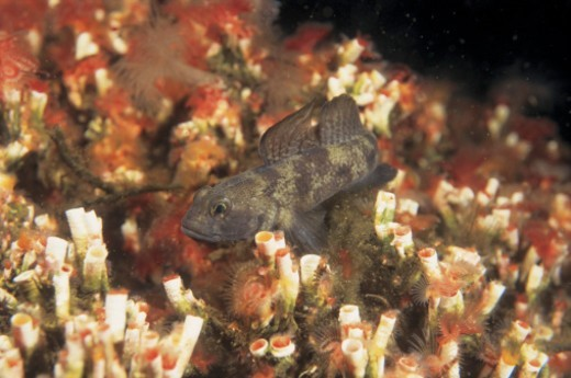 high angle view of a fish swimming over marine plants : Stock Photo