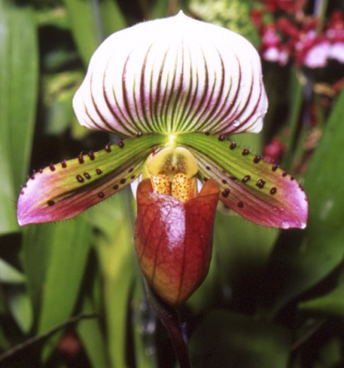 Stock Photo: 1495-158 Slipper Orchid