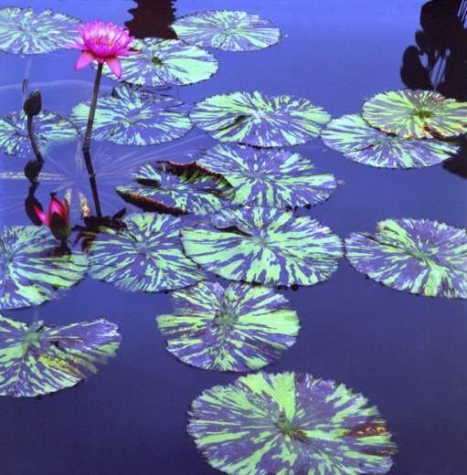 Water Lilies Bronx Botanical Gardens New York City USA : Stock Photo