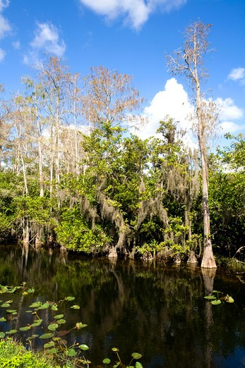 Stock Photo: 1495-694 Reflection of Cypress trees in water, Big Cypress Swamp National Preserve, Florida, USA