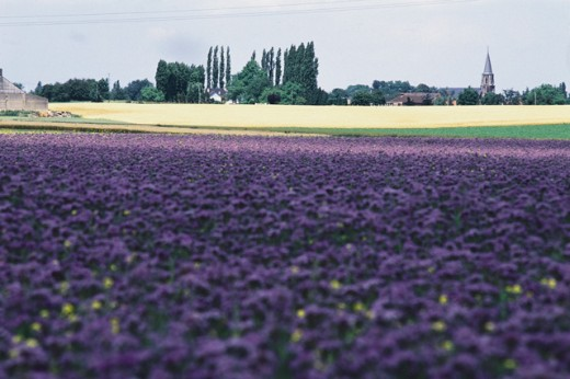 Panoramic view of a field of flowers, Flanders, Belgium : Stock Photo
