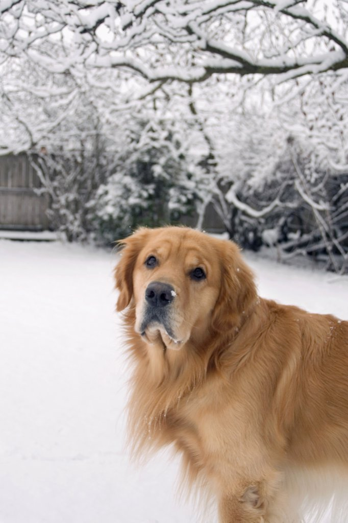 Stock Photo: 1501-935 Golden Retriever outdoors in the snow