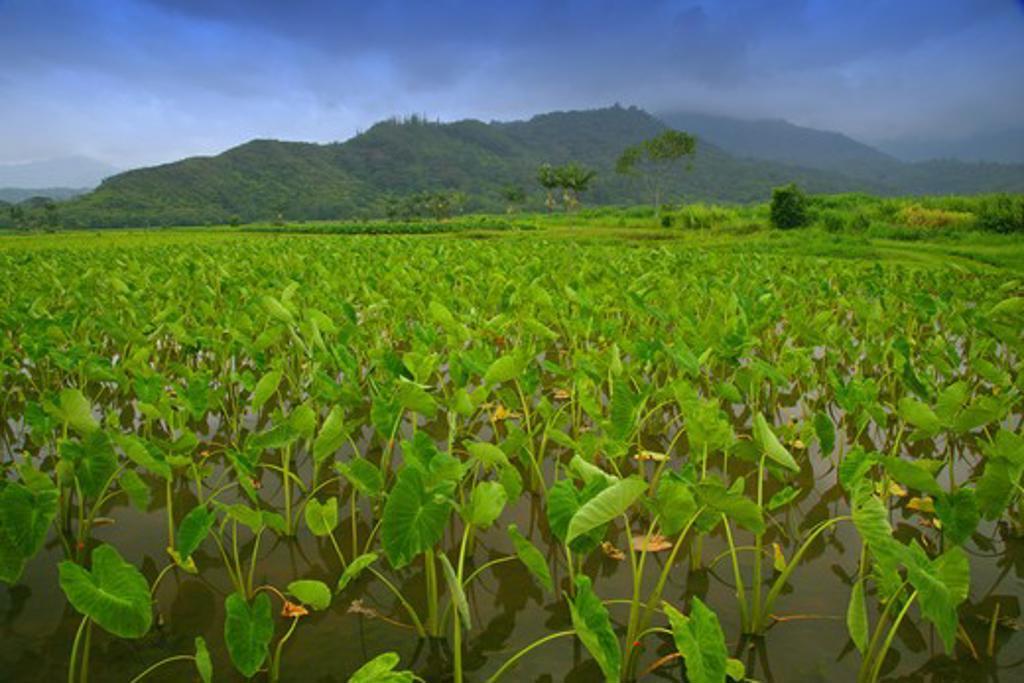 Stock Photo: 1505-320 Taro (Colocasia esculenta) crop in a field, Hanalei Valley, Kauai, Hawaii, USA