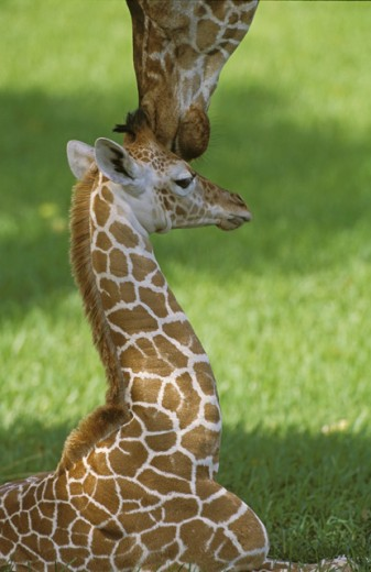Stock Photo: 1511-103 An adult and a young Giraffe