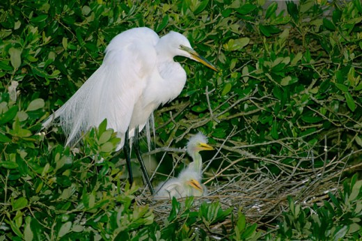 Stock Photo: 1511-221 Great Egrets