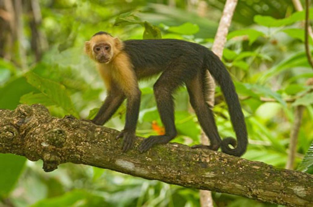 Black Howler monkey (Alouatta caraya) on a branch, Costa Rica : Stock Photo