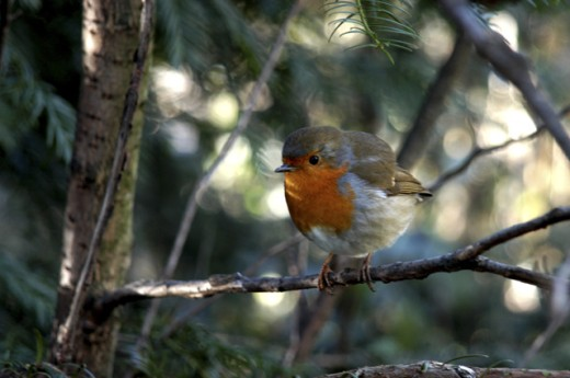 Close-up of a robin perching on a branch (Erithacus rubecula) : Stock Photo