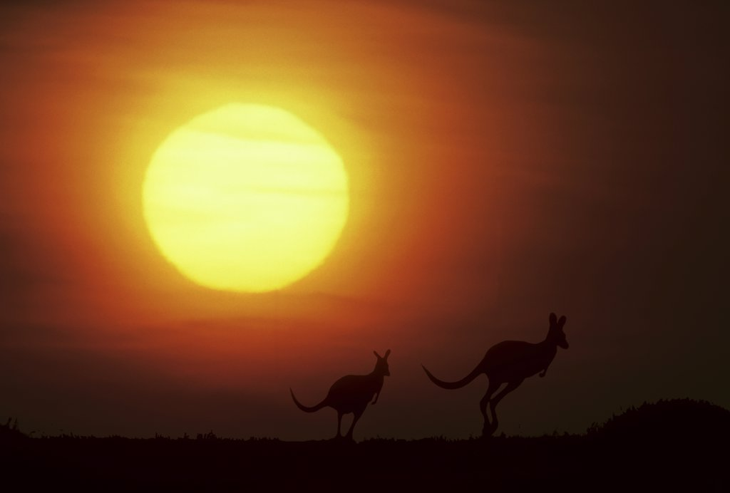 Kangaroos