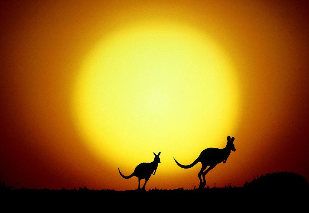 Stock Photo: 152-618 Kangaroos  Australia