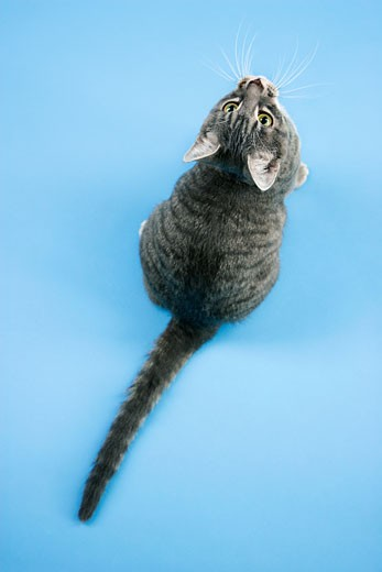 High angle view of gray striped cat looking up. : Stock Photo