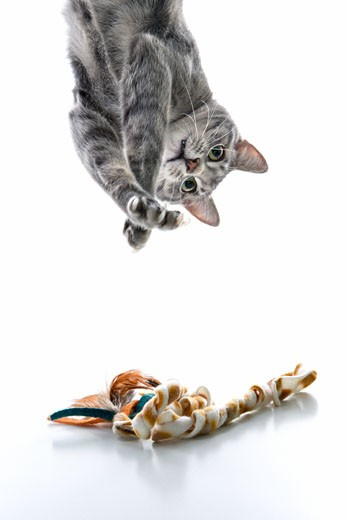 Gray striped cat hanging upside down playing with toy. : Stock Photo