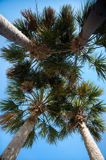 Worm's eye view of palm trees on Bald Head Island, North Carolina. : Stock Photo