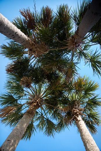 Stock Photo: 1525R-101649 Worm's eye view of palm trees on Bald Head Island, North Carolina.