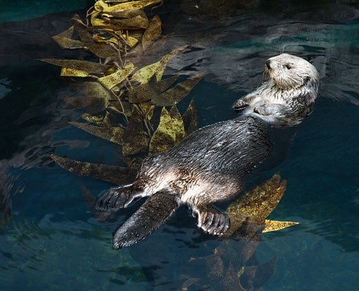 Otter swimming on back on water's surface in aquarium in Lisbon, Spain. : Stock Photo