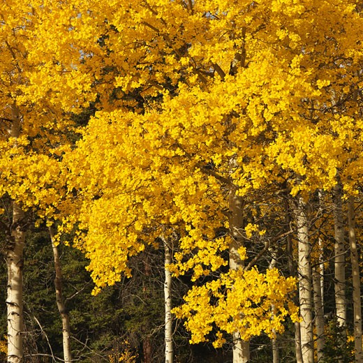 Aspen trees in yellow fall color in Wyoming. : Stock Photo