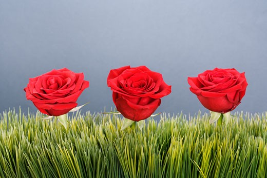 Stock Photo: 1525R-105123 Three red roses growing out of artificial green grass.