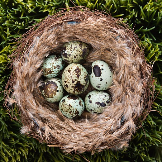 Still life of speckled eggs in nest. : Stock Photo