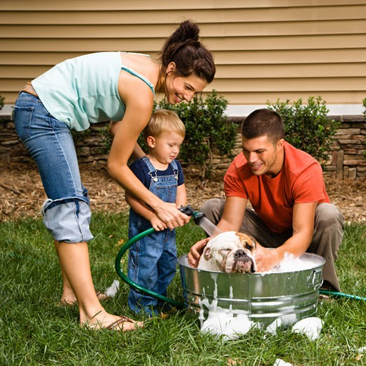 Caucasian family with toddler son washing English Bulldog in backyard. : Stock Photo