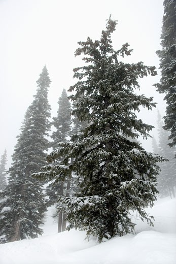 Stock Photo: 1525R-110293 Snow covered pine trees in fog.