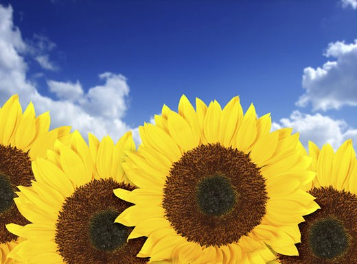 beautiful sunflowers in a sunny day with a beautiful blue sky in the background : Stock Photo