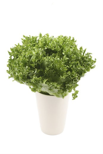 Stock Photo: 1525R-117550 fresh lettuce - lollo bindo - isolated on white