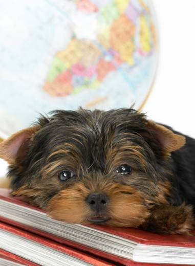 Sleepy Yorkie Resting On Geography Textbooks : Stock Photo