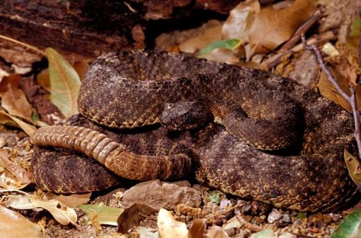 Stock Photo: 1525R-15690 Tiger Rattlesnake
