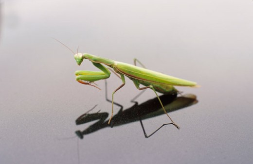 Stock Photo: 1525R-16068 Praying Mantis