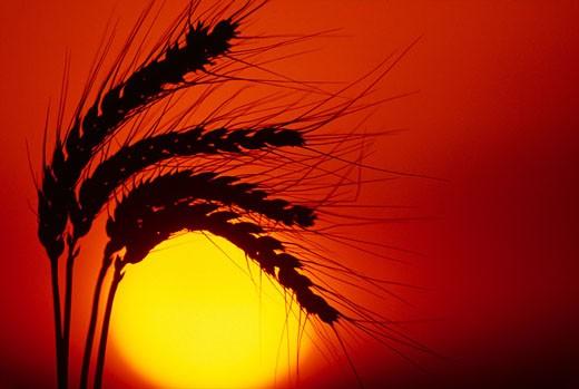 Stock Photo: 1525R-16361 silhouette of grow