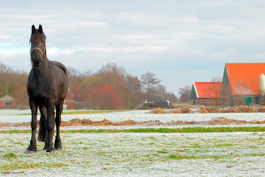 Front view of horse in wintery field : Stock Photo
