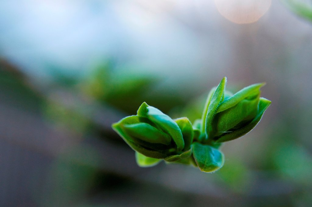 Stock Photo: 1525R-192856 Freshly sprouted tree buds.