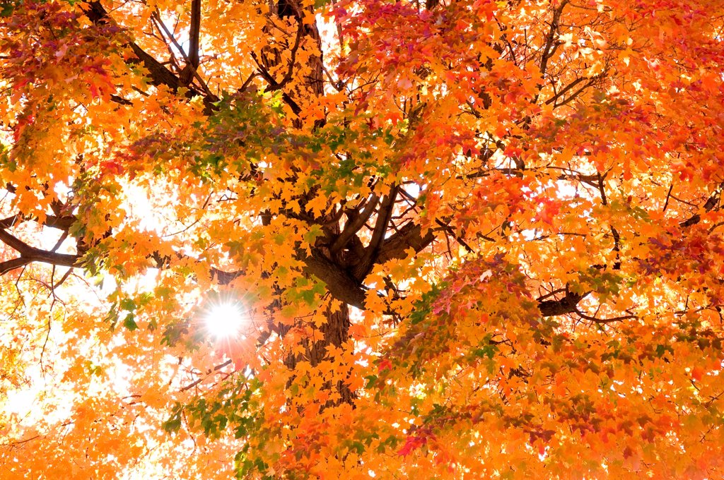Early morning sunburst, through fall leaves. : Stock Photo