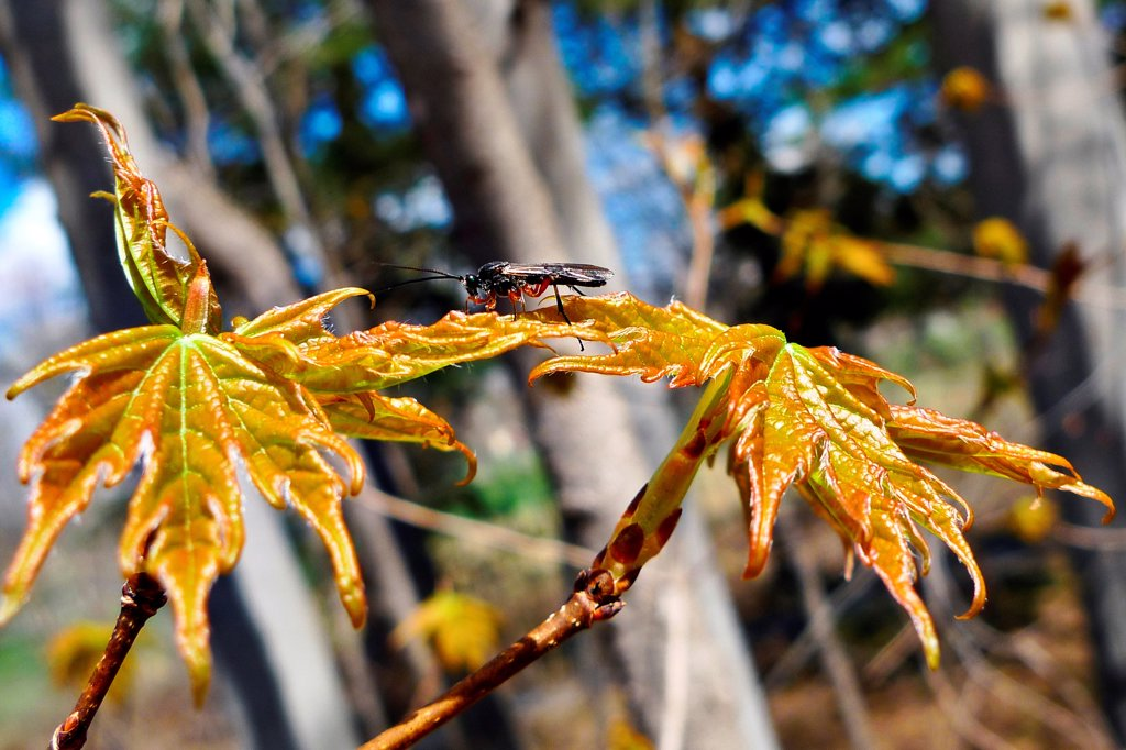 Insect perched on sprouting spring maple leaves. : Stock Photo