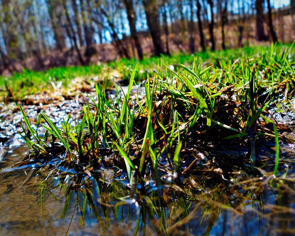 Stock Photo: 1525R-193033 Sprouting green grass in Spring.