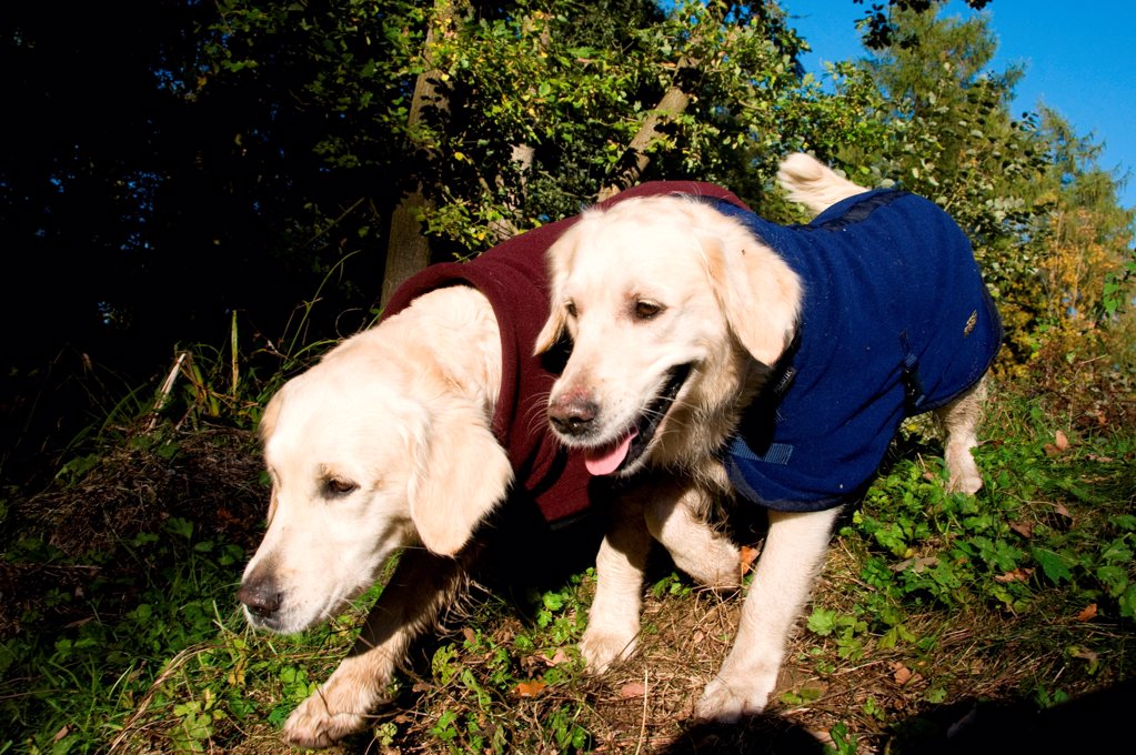 Dogs in their coats : Stock Photo
