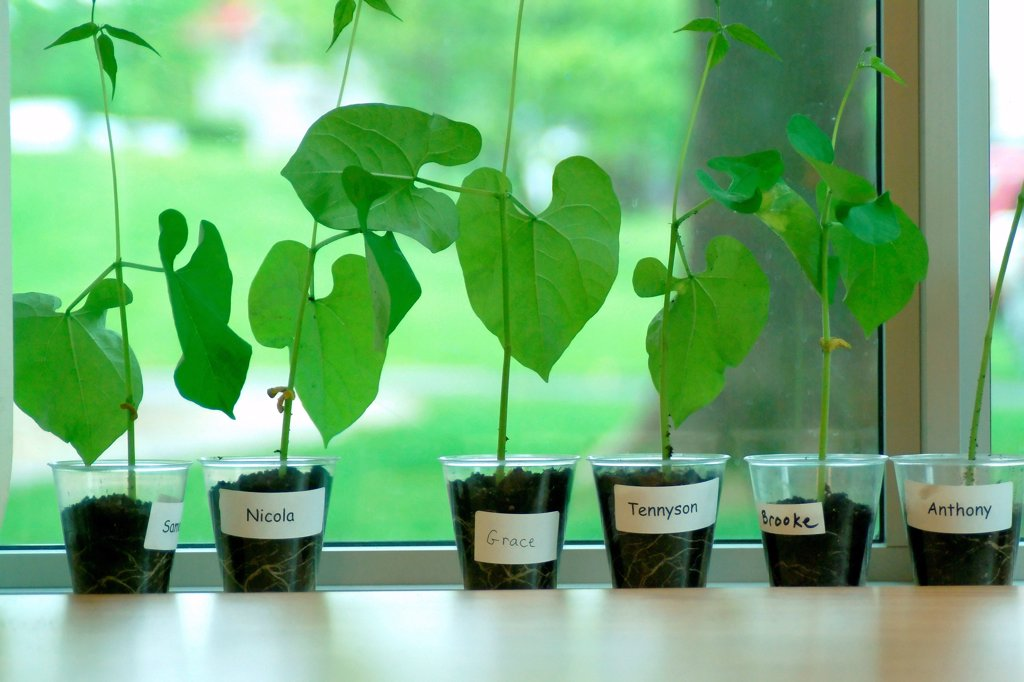 Stock Photo: 1525R-194275 Growing bean plants in school classroom.
