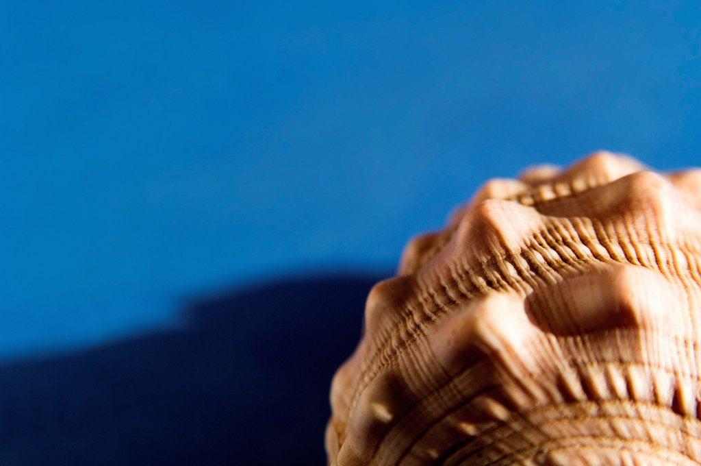 Cross section detail of seashell on blue. : Stock Photo