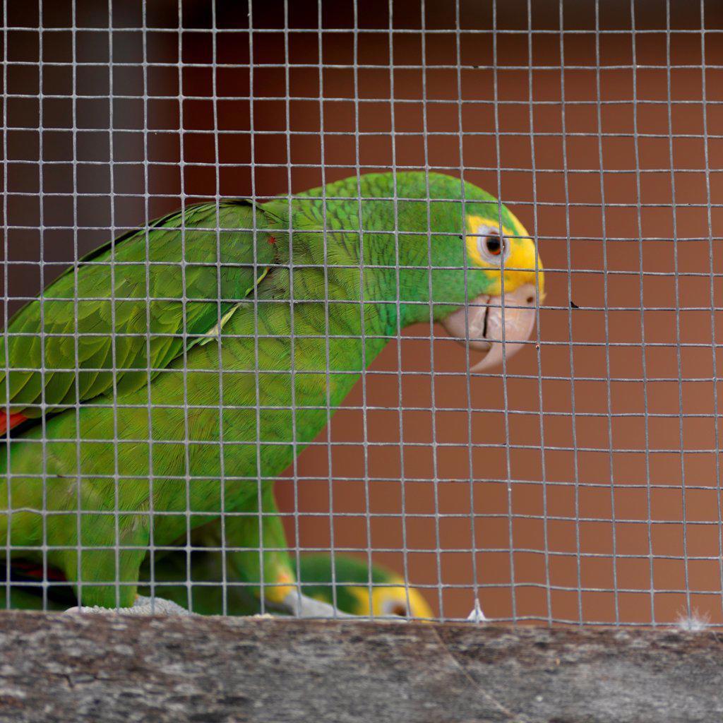Placencia, Parrot : Stock Photo