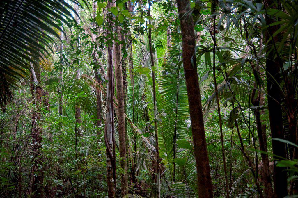 Mountain Pine Ridge Reserve, Rain Forest : Stock Photo