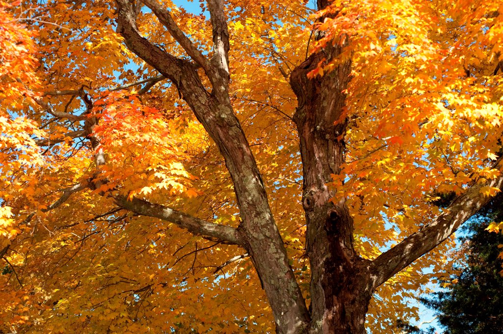 Stock Photo: 1525R-196401 Autumn trees in The Hamptons