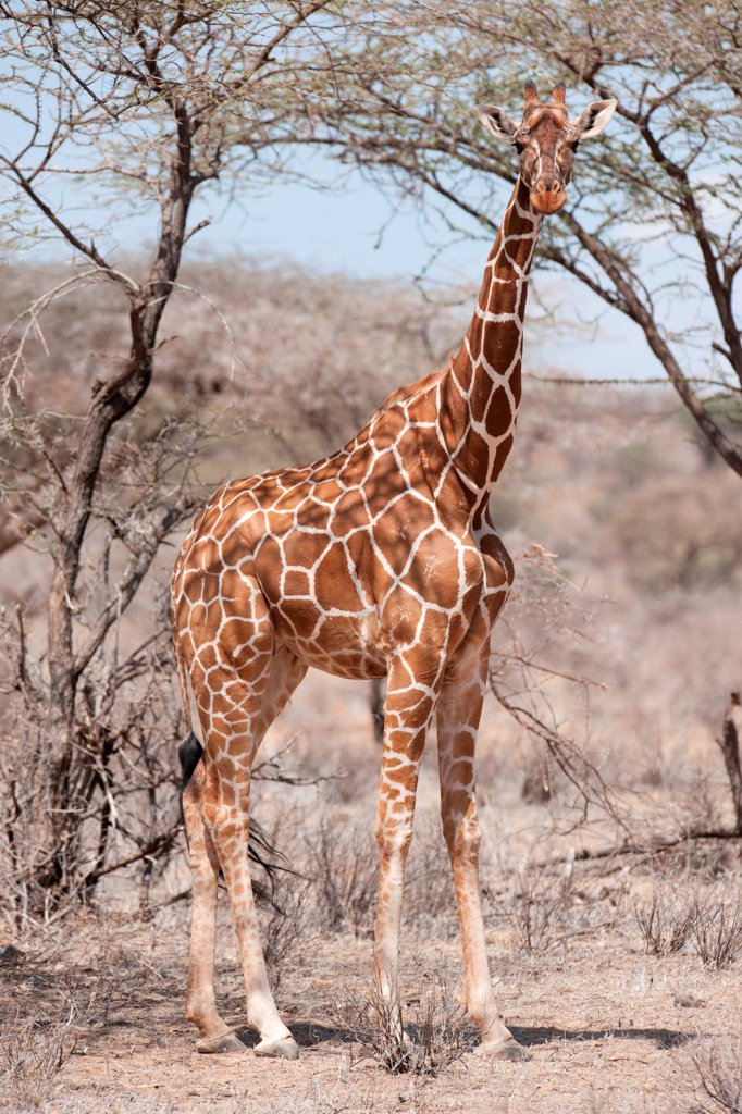 Stock Photo: 1525R-196885 Giraffe wildlife in Kenya