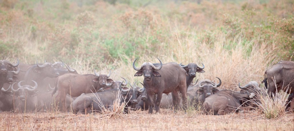 Stock Photo: 1525R-196950 Water buffalo wildlife in Kenya