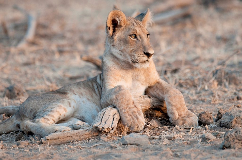Stock Photo: 1525R-197013 Lion Cub in Kenya Africa