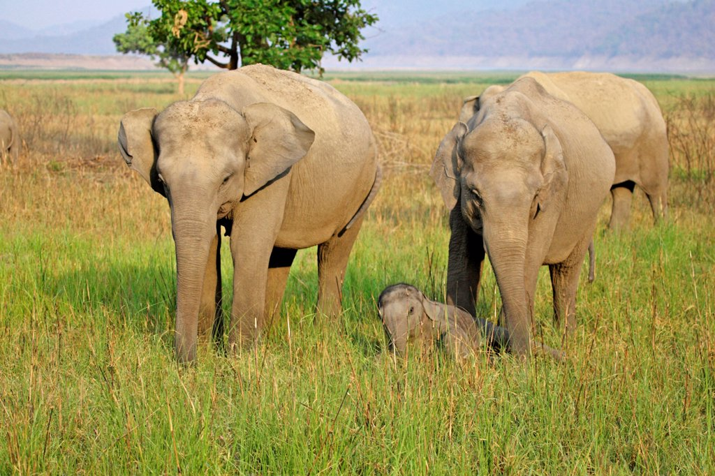 Asian elephant calf waking up between guarding female elephants : Stock Photo