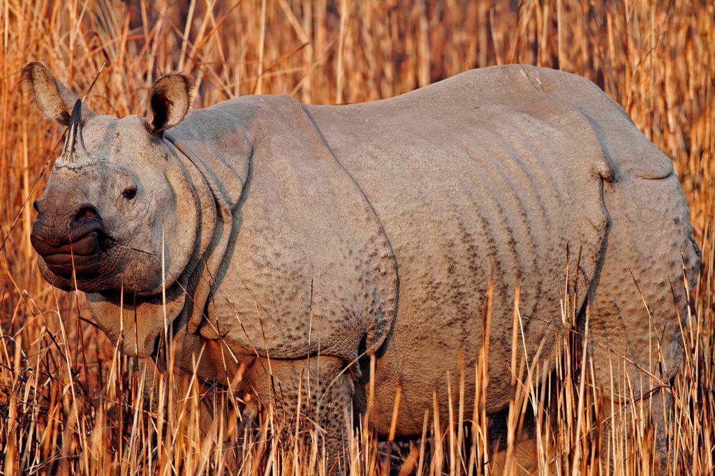 Indian rhino in burnt grass, Kaziranga NP : Stock Photo