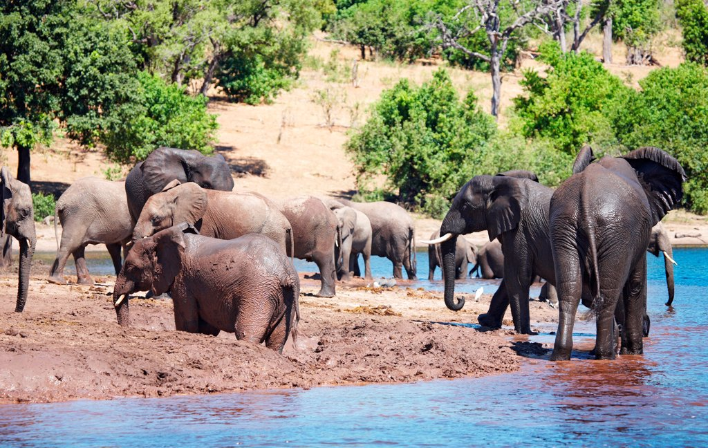 Stock Photo: 1525R-202346 Herd of elephants at watering, Chobe national park, Botswana