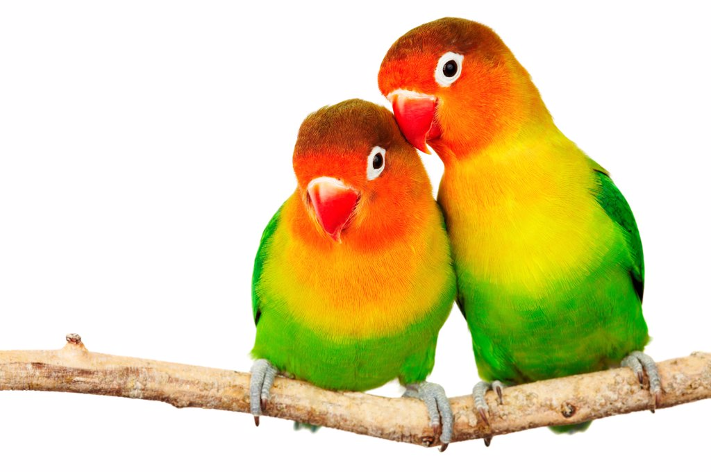 Stock Photo: 1525R-202358 Pair of lovebirds agapornis-fischeri isolated on white